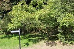 Staphylea 'Hessei' trees - Kew (stephenmid) Tags: kew royalbotanicgardenskew