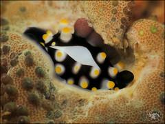 Egg Cowrie (Ovula ovum) (Brian Mayes) Tags: 1993 baratbank muara brunei shell alliedcowrie juvenile commoneggcowrie ovulaovum underwater scuba diving canon g16 canong16 brianmayes