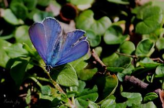 Common Grass Blue Butterfly (Zizina labradus)
