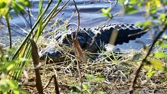 (david11eiu) Tags: outdoors nature plants bushes shrubs swamp florida wild wildlife animal predator reptile gator water alligator
