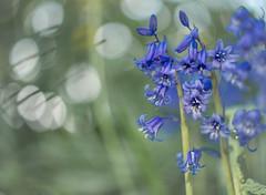 Bluebell tenderness (Dan Österberg) Tags: bluebells flowers blue gray green soft bokeh tender nature beauty
