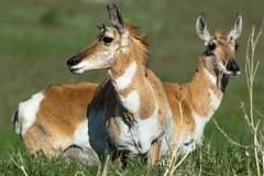 Girly girls (ChicagoBob46) Tags: pronghornantelope antelope doe yellowstone yellowstonenationalpark nature wildlife ngc npc coth5