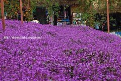 Cameron Lavender Garden (Lt Fukai Enterprise ( akubudaknakal )) Tags: cameronhighland lavender cameronlavendergarden pahang malaysia malaysiavisit pahangtourism cuticutimalaysia nikon nikkor
