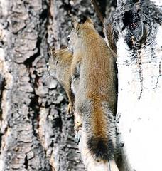 Caught In The Act! -- Red Squirrels (Tamiasciurus hudsonicus);   Santa Fe NF, NM, Thompson Ridge [Lou Feltz] (deserttoad) Tags: wildanimal nature nationalforest newmexico mountains rodent squirrel behavior sex outdoors