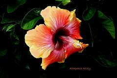 Hibisco/Hibiscus (Altagracia Aristy Sánchez) Tags: hibisco hibiscus cayena riverviewfl riverview fujifilmfinepixhs10 fujifinepixhs10 fujihs10 altagraciaaristy homedepot