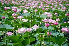 crowd (tez-guitar) Tags: crowd lotus flowers blossoms bloom petals summer green pentax pentaxart
