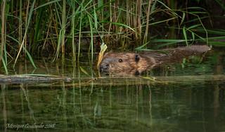 Castor du Canada - North American Beaver
