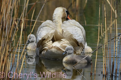 Mute Swan Family (Cheryl's Wildlife) Tags: wildlife nature dorset rspb birds 2018 birdwatching nikon sigma photography southcoast arne poole portland weymouth naturereserve pooleharbour