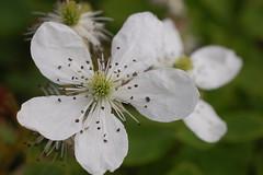 Blackberry flower (moonwatcher13) Tags: vinalhaven maine d40 wildflower rubus rosaceae blackberry bramble