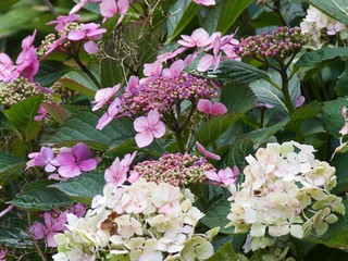 1913 Lace-cap and Mophead Hydrangea blooms