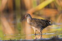 Wodnik zwyczajny/Water rail #4 (mirosławkról) Tags: birds nature wildlife ornithology wild silesia nikonnaturephotography 150600 water pond poland lake green sunrise bokeh