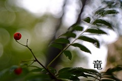 red V rowan berry 🍅🌿 (Ola 竜) Tags: rowan berry red fruit rowantree mountainash rowanberries berries fruits green leaves twigs tree earlyautumn manualfocus domiplan dof bokeh fujifilm velvia greenery plant flora nature composition vintagelens bokehicious