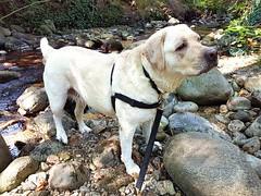 Gracie after her swim in the creek (walneylad) Tags: gracie dog canine pet puppy lab labrador labradorretriever cute september summer afternoon murdofrazerpark