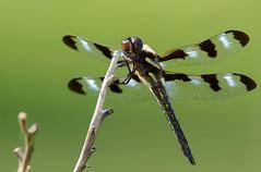 Twelve-spotted Skimmer (JDA-Wildlife) Tags: butterfliesetc nikon nikond7100 tamronsp150600mmf563divc jdawildlife johnny closeup dragonfly dragonflytwelvespottedskimmer twelvespottedskimmerdragonfly gorgeous brilliant whatbirdbestofday wow