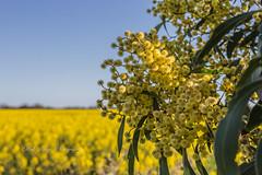 Golden Wattles and canola field (Malcom Lang) Tags: yellow gold golden green canola sky tree bush wattles wattle blue farm farming flower flowers canoneos6d canonef2470mm southaustralia southern south southernaustralia southerneyrepeninsula eyrepeninsula eyre australia australian aussie