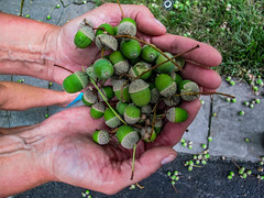 acorns-4_MaxHDR_Dehaze (old_hippy1948) Tags: acorns