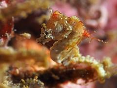 Hippocampus pontohi (chaloklum) Tags: hippocampus pontohi seepferdchen pygmäenseepferdchen hippocampinae romblon philippines ess riff uderwaterphotography underwater unterwasser uwmacro underwatermacro ocean olympus philippinen pygmy seahorse asia sea scuba scubadiving diving fins korallen closeup supermacro makro thethreep tauchen hippocampuspontohi