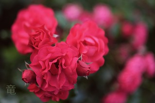 big miniature roses 🌹 [explored]