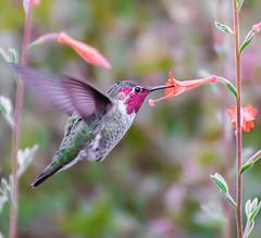 Time to Harvest. (Omygodtom) Tags: wildlife bird annashummingbird nature flickriver abstract animalplanet animal tannersprings nikon70300mmvrlens