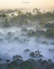 Borneo (Hilton Chen) Tags: malaysia trees foggy borneo landscape danumvalley rainforest jungle sabah misty tropical sunrise lahaddatu my