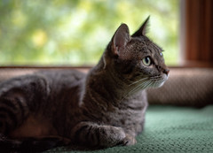 Ms. Jetta (CMFRIESE) Tags: cat tabby portrait window low light ambient animals feline