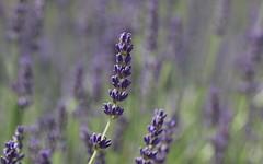 Tout simplement... (Nature Box) Tags: img1933 nature fleur flower lavande lavender violet purple champ field landscape paysage