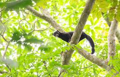 Tayra (Danielle Connor photography) Tags: costa rica wildlife animals cute sloth rainforest olingo red eyed tree frog capuchin howler coati motmot toucan macaw tayra