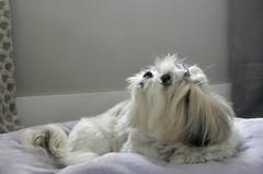 Lola (dirceu1507) Tags: shihtzu dog♥perro♥chien♥hund♥cane♥hond♥ dogs cachorros perros cani chien