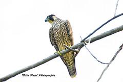 IMG_8105 (nitinpatel2) Tags: bird nature nitinpatel