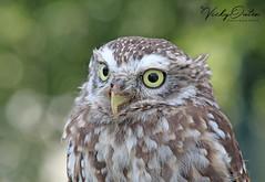 Little owl (vickyouten) Tags: littleowl owl nature wildlife canon canon1300d wildwings vickyouten