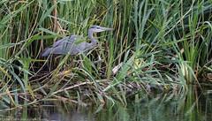 9Q6A3146 (2) (Alinbidford) Tags: alancurtis brandonmarsh greyheron nature wildbirds wildlife