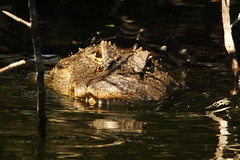 3S5X6863 Waiting In The Shadows (Eileen Fonferko) Tags: alligator animal nature wildlife shadows waiting