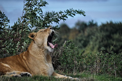 Lioness at Yorkshire Wildlife Park 16/09/18 (klorhy) Tags: lion lioness africanlion africanlioness yorkshirewildlifepark ywp zoophotography nikond5000 nikonphotos zoophotos wildlife wildanimal