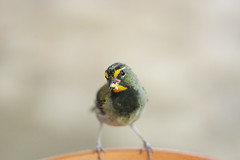 Yellow-faced Grassquit (mak_9000) Tags:
