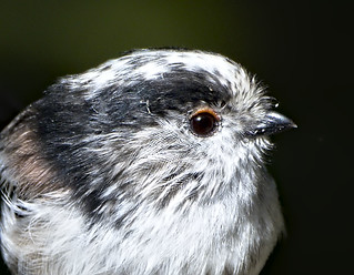 Long tailed tit 2 18 Sep 2018