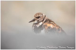 Turnstone on Harbour Wall