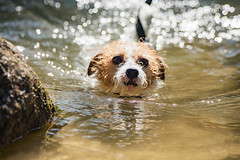 Summer has Gone (moaan) Tags: kobe hyogo japan jp dog jackrussellterrier kinoko swim swimming desperateswimming expression outdoors water river rippled ripples focusonforeground selectivefocus depthoffield bokeh bokehphotography canon canonphotography canoneos5dsr ef7020mmf28lisiiusm utata 2018