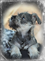 Darcy pup (PentlandPirate of the North) Tags: hff miniatureschnauzer dog puppy love greyisbest cute babe adorable