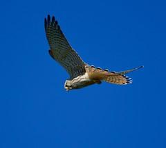 Kestrel (Falco tinnunculus) - Taken at Summer Leys Nature Reserve, Nr Wollaston, Northants. UK. (Ian J Hicks) Tags: