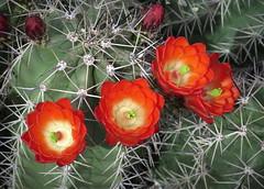 Cactus flowers (PeterCH51) Tags: cactus flower cactusflower redflower arizonasonoradesertmuseum sonoradesertmuseum desertmuseum tucson arizona usa america peterch51 closeup macro makro hedgehogcactus claretcuphedgehogcactus claretcup bloom desertbloom wildflower