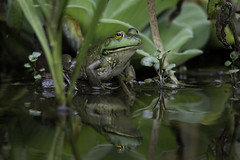 Frog in the pond (Rob & Amy Lavoie) Tags: