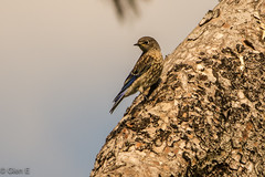 Western Bluebird (nebulous 1) Tags: california female fountainvalley juvenilewesternbluebird milesquarepark bird fauna