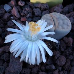 Lithops karasmontana subsp. karasmontana var. aiaisensis TS55 '12537'