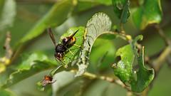 yellow-legged hornet or asian hornet (3/3) (Franck Zumella) Tags: trunc hornet european guepe frelon bee abeille insecte insect fly wasp nature macro zoom asian yellowlegged green vert