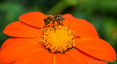 pollination (stedanphotography) Tags: flower bee macro nikon d3300