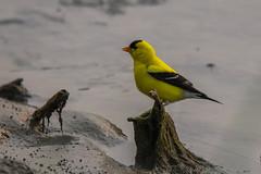 Male Goldfinch (jimmy.stewart40) Tags: wildlife wildbird bird goldfinch yellow black beak nature naturephotograph outdoors
