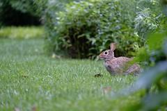Lapin (MarcBphotos) Tags: lapin rabbit