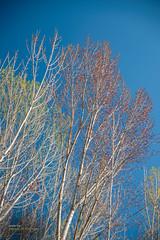 Looking upward (Oddiseis) Tags: tree mountains arcosdelassalinas teruel aragón spain vegetable colors sky blue red yellow branch leaf tamron247028 plants nature salicaceas poplar aspen populusalba populustremula javalambre