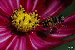 1-DSC_0004-001 (adamsshawn390) Tags: insect flowerwatcher fly