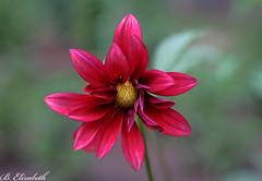 Pink Dahlia (Barbara.Elizabeth) Tags: lensbabysol45 canon80d dahlia pink summer garden dof blur closeup